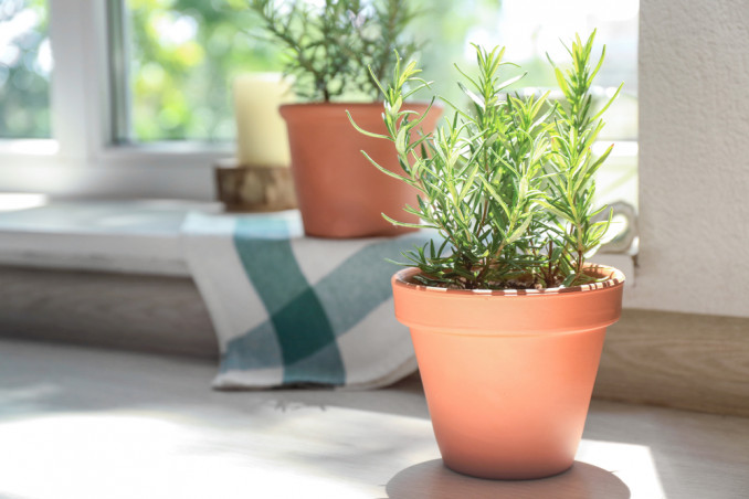 How To Grow Rosemary In Pots: 9 Useful Tips