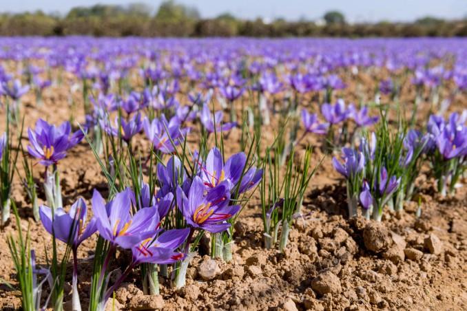 How To Grow Saffron: 11 Useful Tips