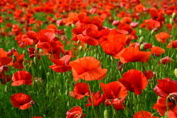 How To Grow Poppies: 5 Useful Tips