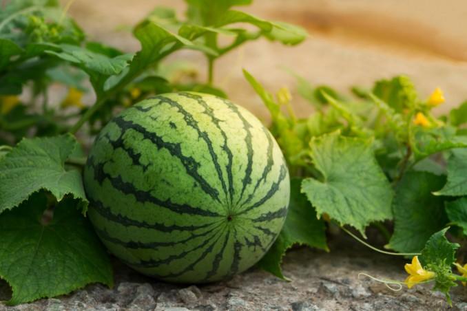 Growing Watermelons: 9 Useful Tips